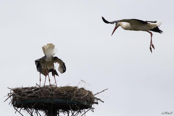 ein Fremdstorch im Anflug auf das Nest...