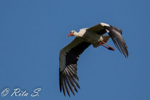 denn sofort startet der andere Storch, um Futter zu suchen..
