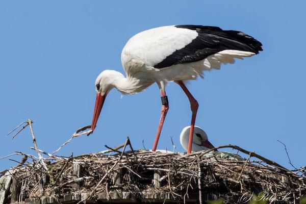 MAX bessert das Nest aus...