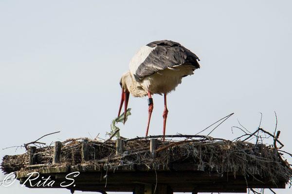 ...und der auf dem Nest gebliebene Storch macht erstmal Hausputz.