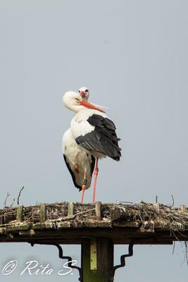 Storch Max genießt die Nähe zu seiner Störchin