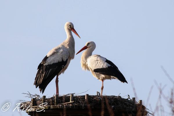 ..ein hübsches Paar Storch Max und seine neue Partnerin 3T630
