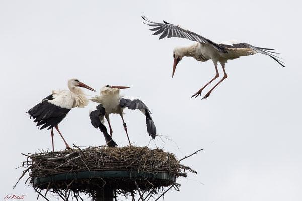 ...aber so schnell gibt dieser Storch nicht auf...