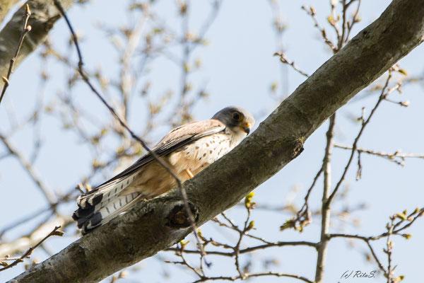 Turmfalke-Männchen sitzt im Baum gegenüber und lauscht den Rufen des Weibchens.