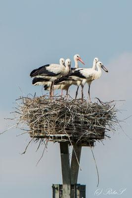 Vier Jungstörche, ein Adultes - macht 10 Storchenbeine in einem Nest
