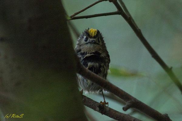 diese kleine Wintergoldhähnchen entdeckte ich zufällig im Geäst am Prerow-Strom...ich glaube, es war ebenso überrascht wie ich, als wir uns in die Augen schauten.