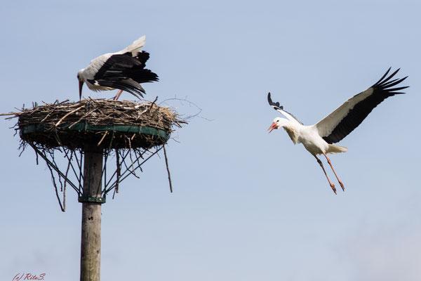 ..scheinbar ein Fremd-Storch, denn 7T308 verteidigt sein Nest!
