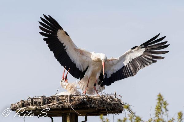 ...mit sicherer Landung auf dem Nest.