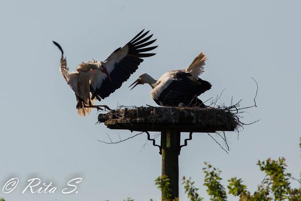 Und dann kommt schon der Partner wieder ins Nest geflogen...