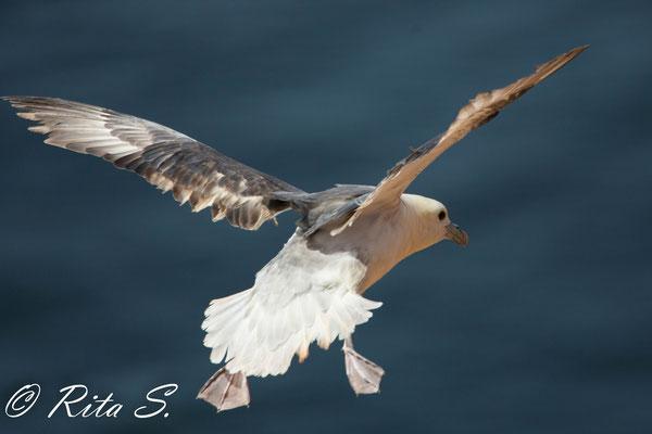 Eisstumvogel