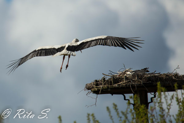 und der Landeanflug auf das Nest ist bilderbuch-mäßig!