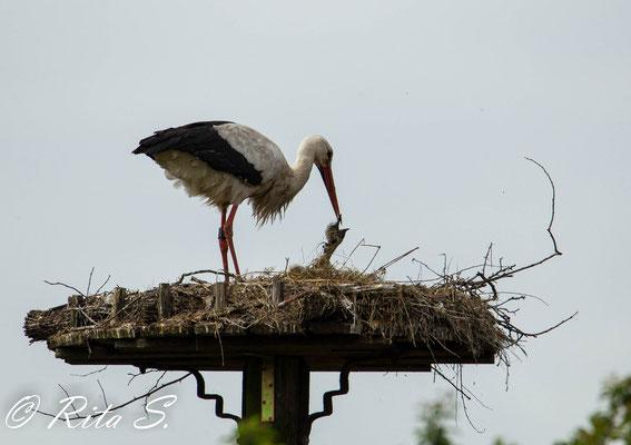 Max stocherte und zupte immer wieder an ETWAS, was oben im Nest lag...