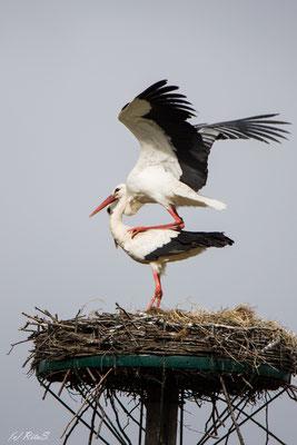 ...und noch ein Versuch des Storchs, die Störchin zu besteigen.