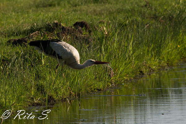 Storch beim Wassertrinken
