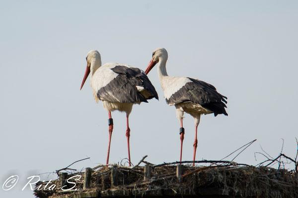 ...da freue ich mich um so mehr, wenn ich beide Störche mal zusammen auf dem Nest sehe.