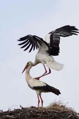 ...die Paarung bei Störchen ist eine akrobatische Leistung...