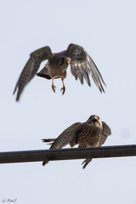 ...nach dem Paarungsakt fliegt das Turmfalken-Männchen davon