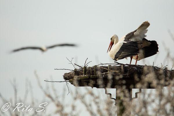 Storch Max begrüßt seine Ströchin, die sich im Anflug befindet..