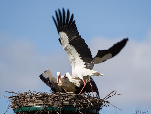 Die Störchen erreicht den Nestrand, aber sie darf nicht landen
