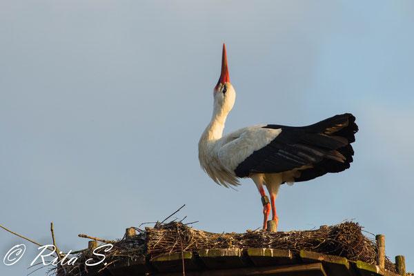 MAX hielt weiterhin im Nest die Stellung und warb ebenfalls um Aufmerksamkeit der Störchinnen.