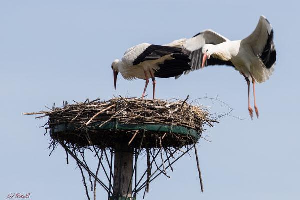..der Fremde versucht ständig, im Nest zu landen...