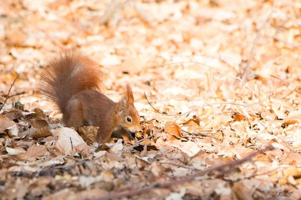 Die Suche des Eichhörnchens ähnelt der Suche eines Hundes....