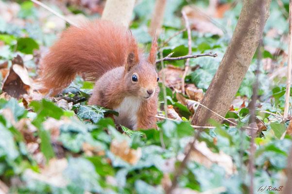 das Eichhörnchen versucht seine versteckten Vorräte zu finden...