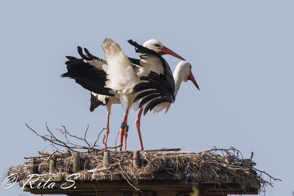 ...aber es kann auch sein, dass beide mit Klappern und Gefiederausbreiten ihr Nest verteidigen...