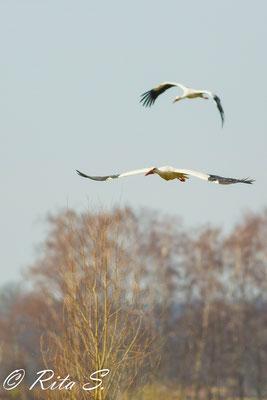 ..auch zu zweit flogen sie immer wieder über dem Nest bzw. drum herum...