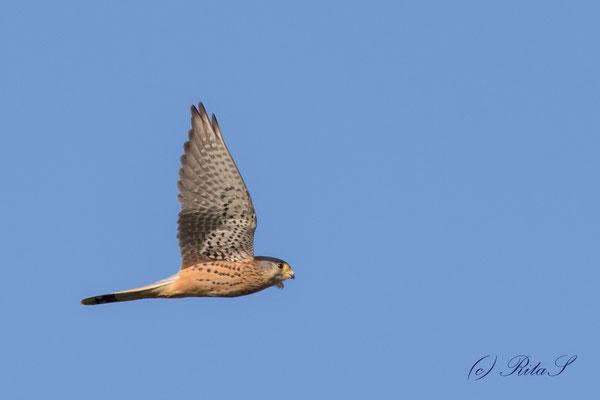 Turmfalke , Männchen, im Flug