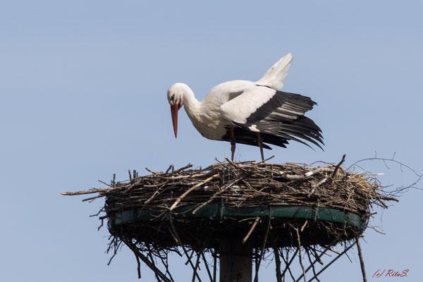 Storch DEW7T308 auf seinem Nest, aber alleine!