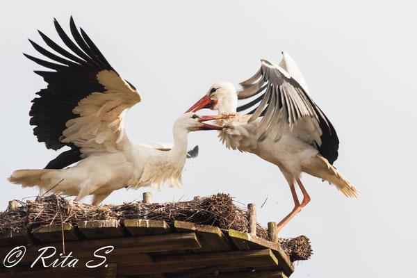 die Versuche der Störchin, im Nest zu landen, nahmen zu...