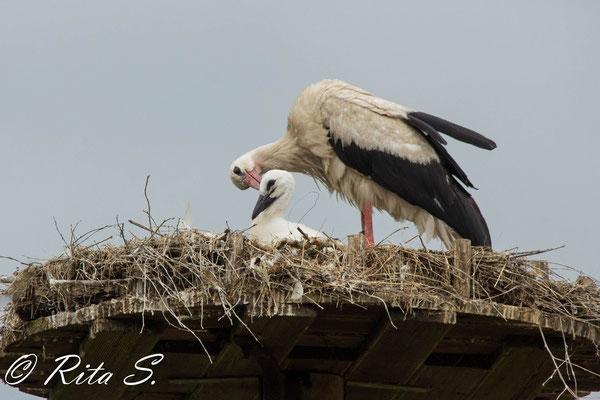 """Gefiederpflege -Vater Storch """"knabbert"""" am Kopf von Nachwuchs BAVI"""