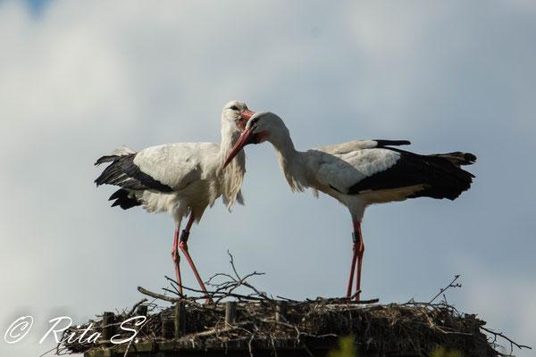 Während der Brutzeit sind gemeinsame Momente auf dem Nest nur kurz...