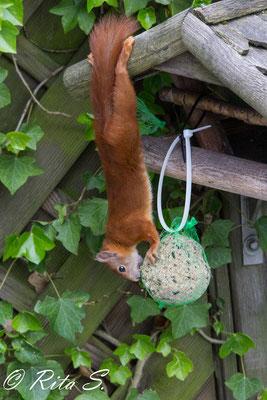 Eichhörnchen in Bremen