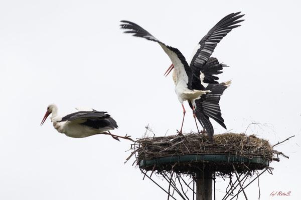 ..und er kann nicht im Nest landen...