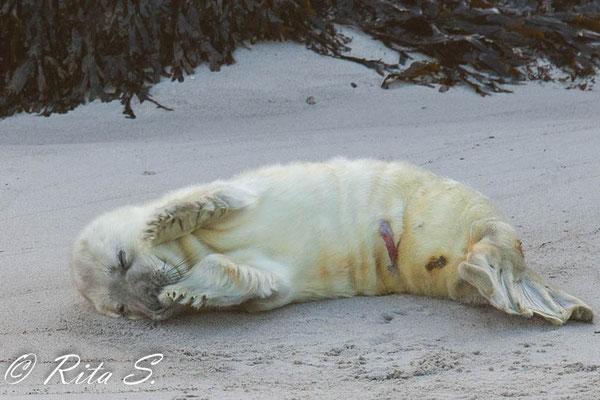 Robbe auf der Insel Helgoland