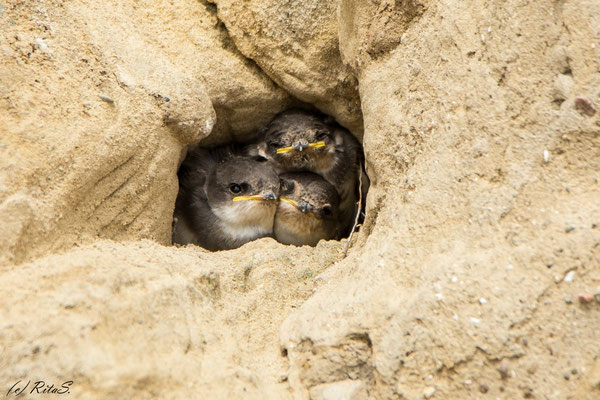drei hungrige Mäuler drängeln am Ausgang der Bruthöhle...