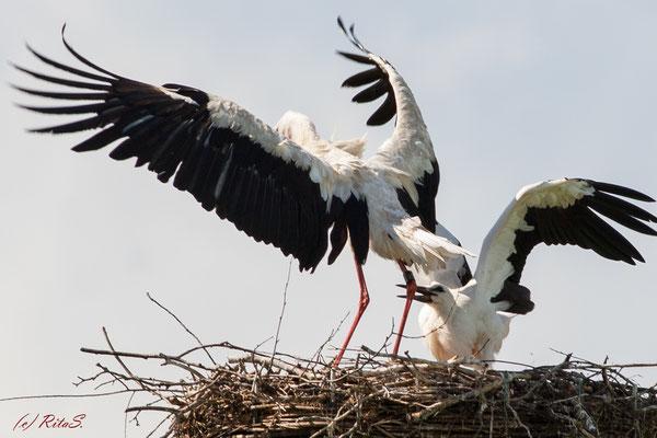 Punktlandung ! Papa-Storch ist gelandet!