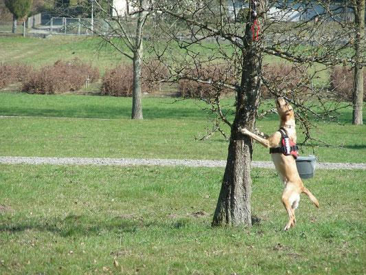 ALB Spürhund Oetztallabrador Anna Grace bei der Einortung der Probe
