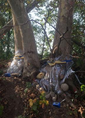 Chinesischer Laubholzbockkäfer Anoplophora chinensis Entnahme von Duftstoffen