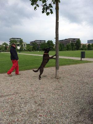 ALB-Spürhund Enduro in der freien Suche (Foto Mirella Manser, ALB-Spürhundeführerin)
