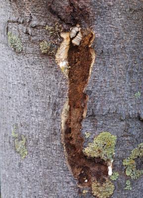 Xylotrechus chinensis, Anoplophora Spürhunde Schweiz