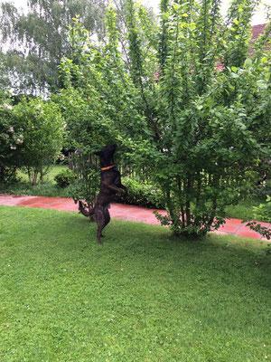 ALB-Spürhund Enduro arbeitet sich in den Busch rein (Foto: Mirella Manser, ALB-Spürhundeführerin)
