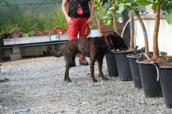 Anoplophora; Spürhunde; Asiatischer Laubholzbockkäfer; Tarlo asiatico; Capricorne asiatique;