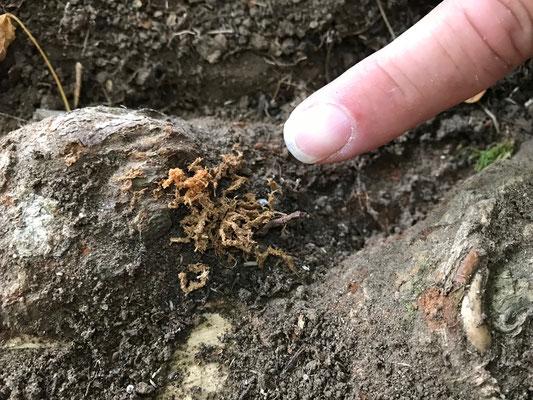 Chineischer Laubholzbockkäfer; Anoplophora chinensis; Capricorne des agrumes