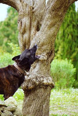 Asiatischer Laubholzbockkäfer Spürhund, Capricorne asiatique, tarlo asiatico