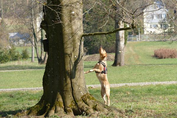 """ALB Spürhund Oetztallabrador Anna Grace bei der Kontrolle einer """"sauberen"""" Buche"""