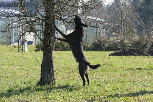 Asiatischer Laubholzbockkäfer Spürhund Enduro Van de Niwo bei der Anzeige von Molekülen