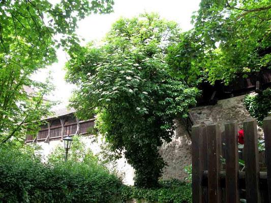 09.06.2010 (c) Traudi  -  Stadtmauer mit Wehrgang  -  Stadtbefestigung seit 1364